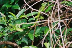 JESUS CHRIST LIZARD (Basiliscus basiliscus)