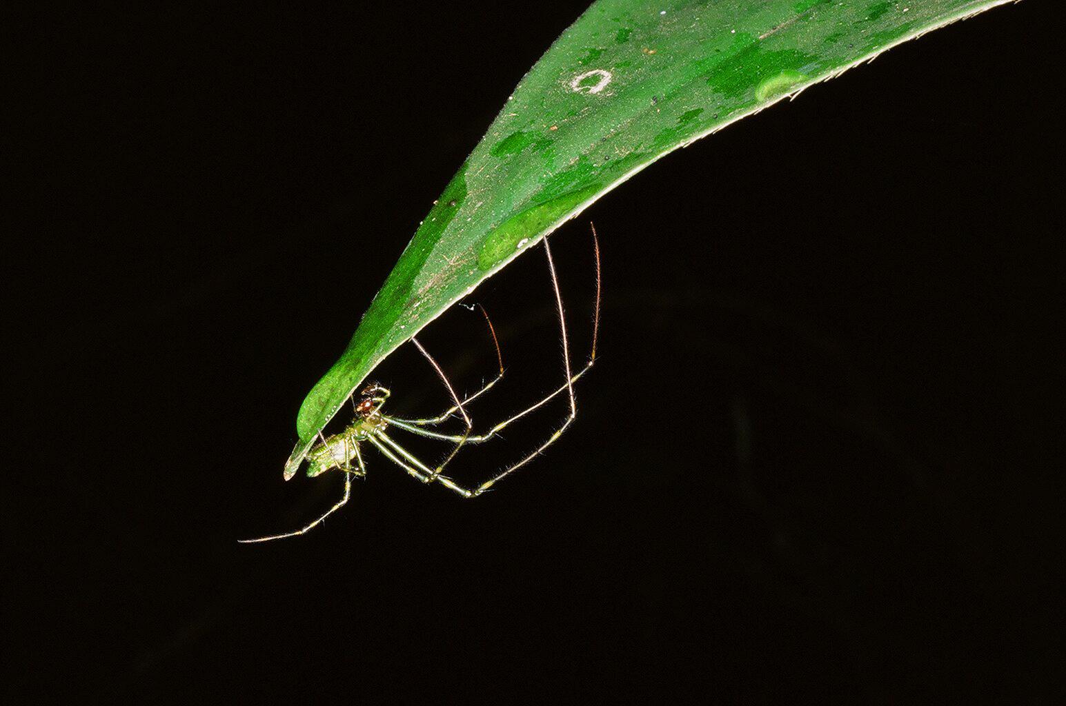 NURSERY WEB SPIDER (Pisauridae)