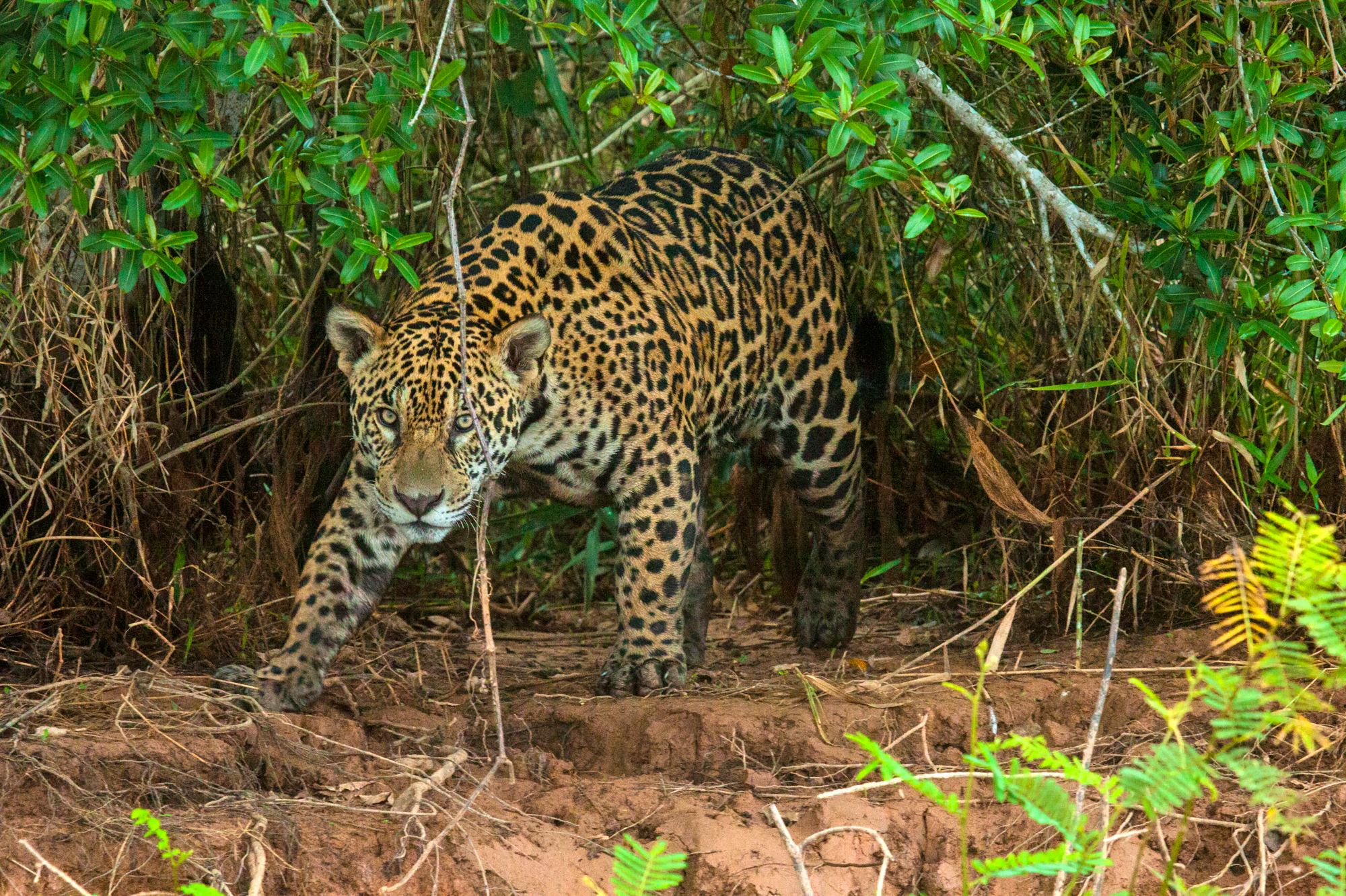 APPROACHING HUNTER (Panthera onca)