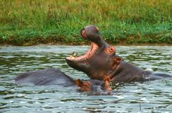 BOASTER (Hippopotamus amphibius)