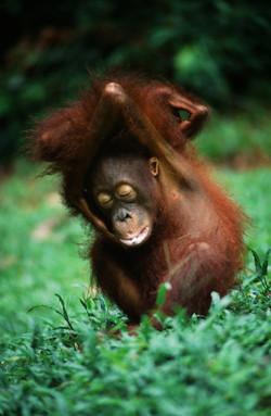 PLAYING PUP (Pongo pygmaeus)