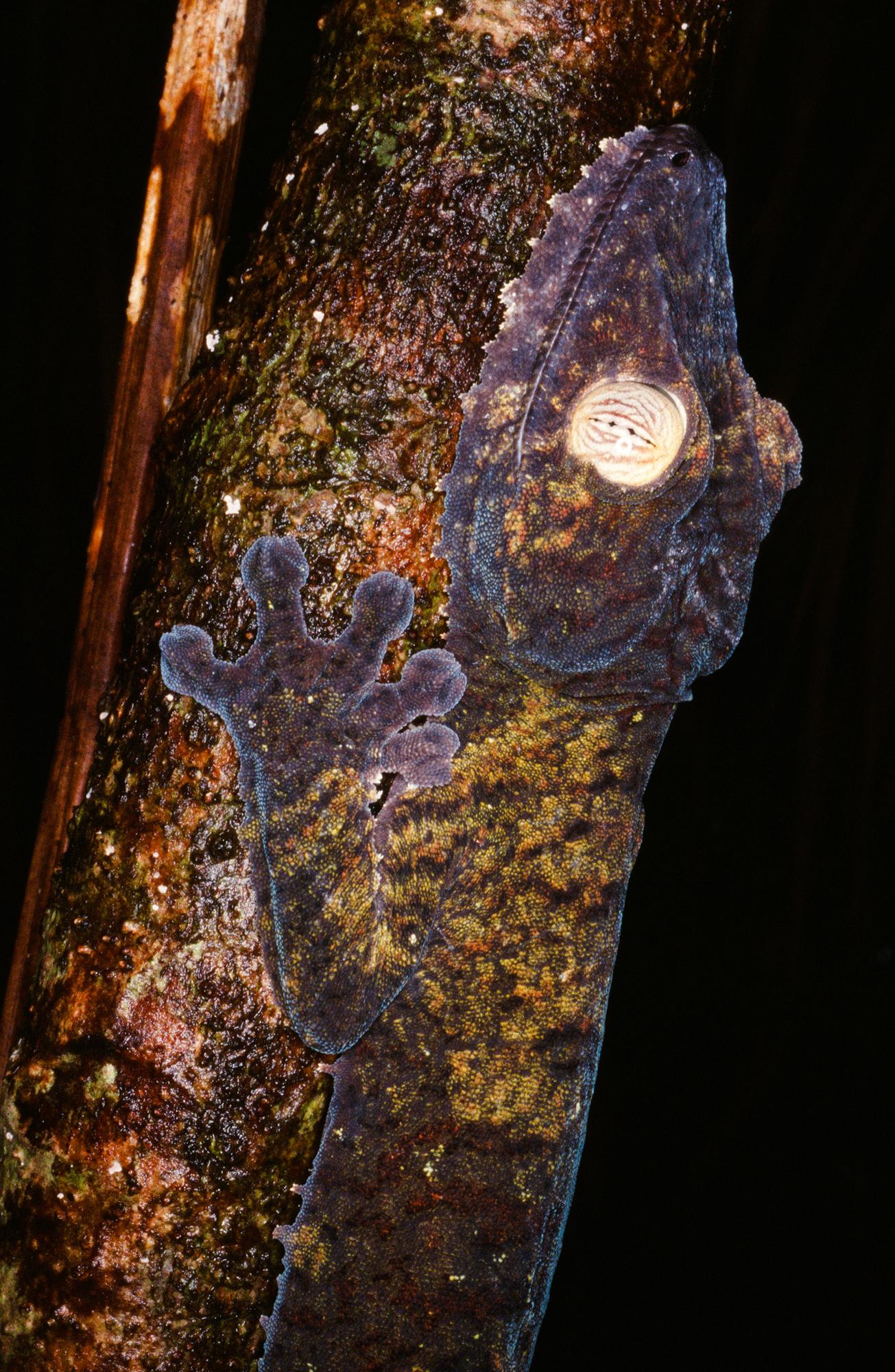 VANISHING LEAF TAILED GECKO (Uroplatus fimbriatus)