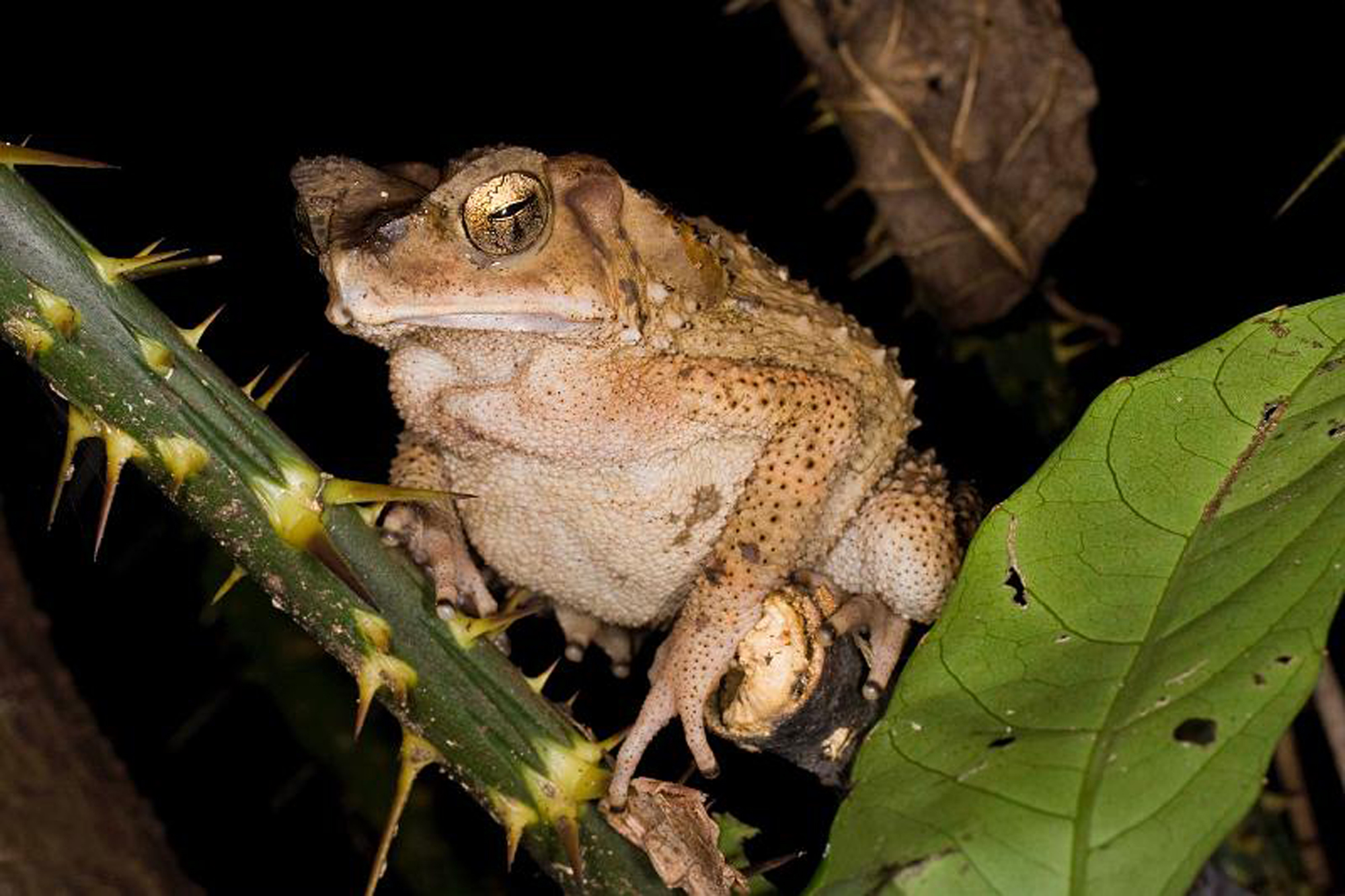 NOCTURNE TOAD