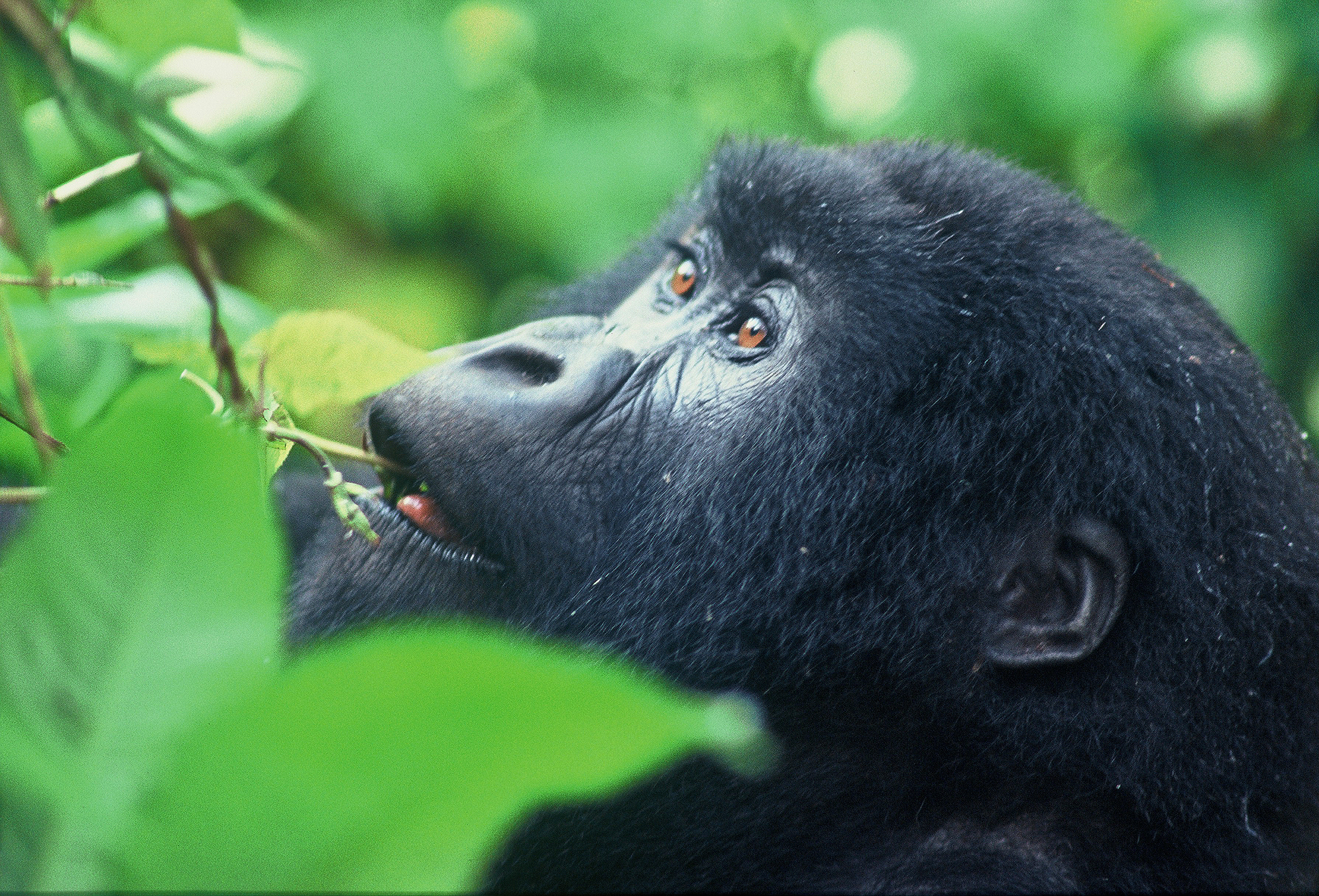 WHATS ABOVE_ (Gorilla gorilla beringei)