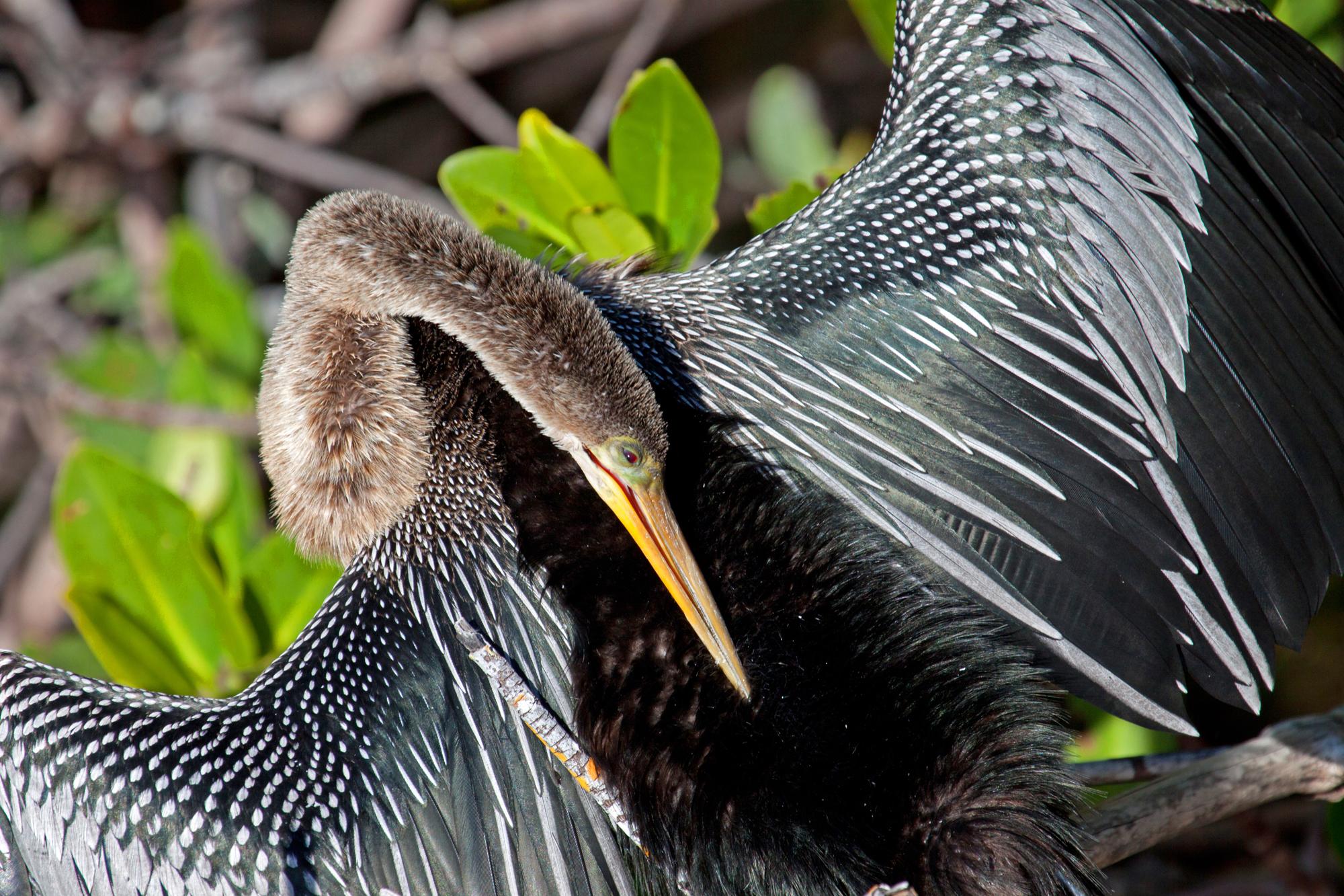 SNAKE BIRD (Anhinga anhinga)