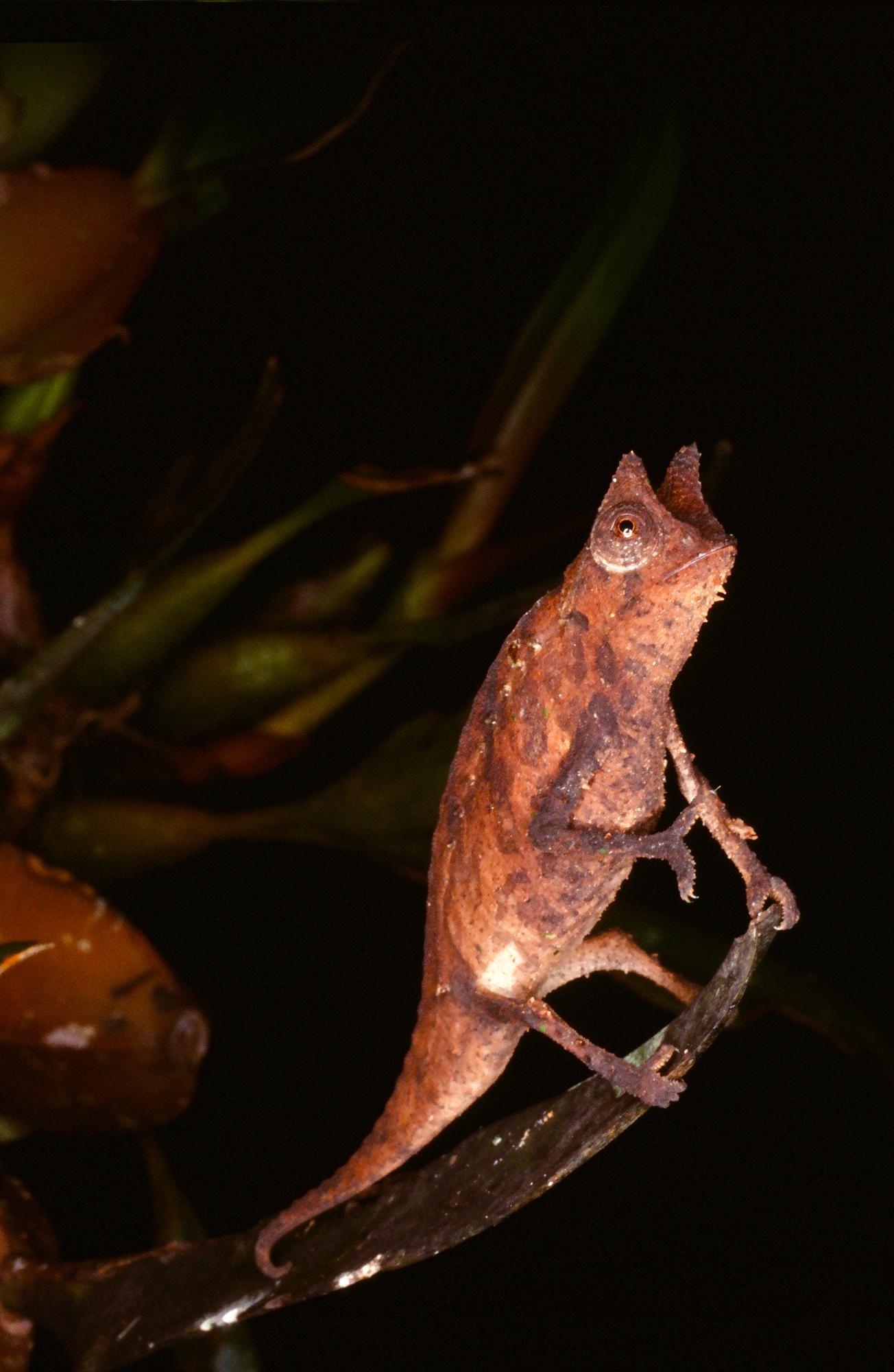 HORNED LEAF CHAMELEON (Brookesia superciliaris)