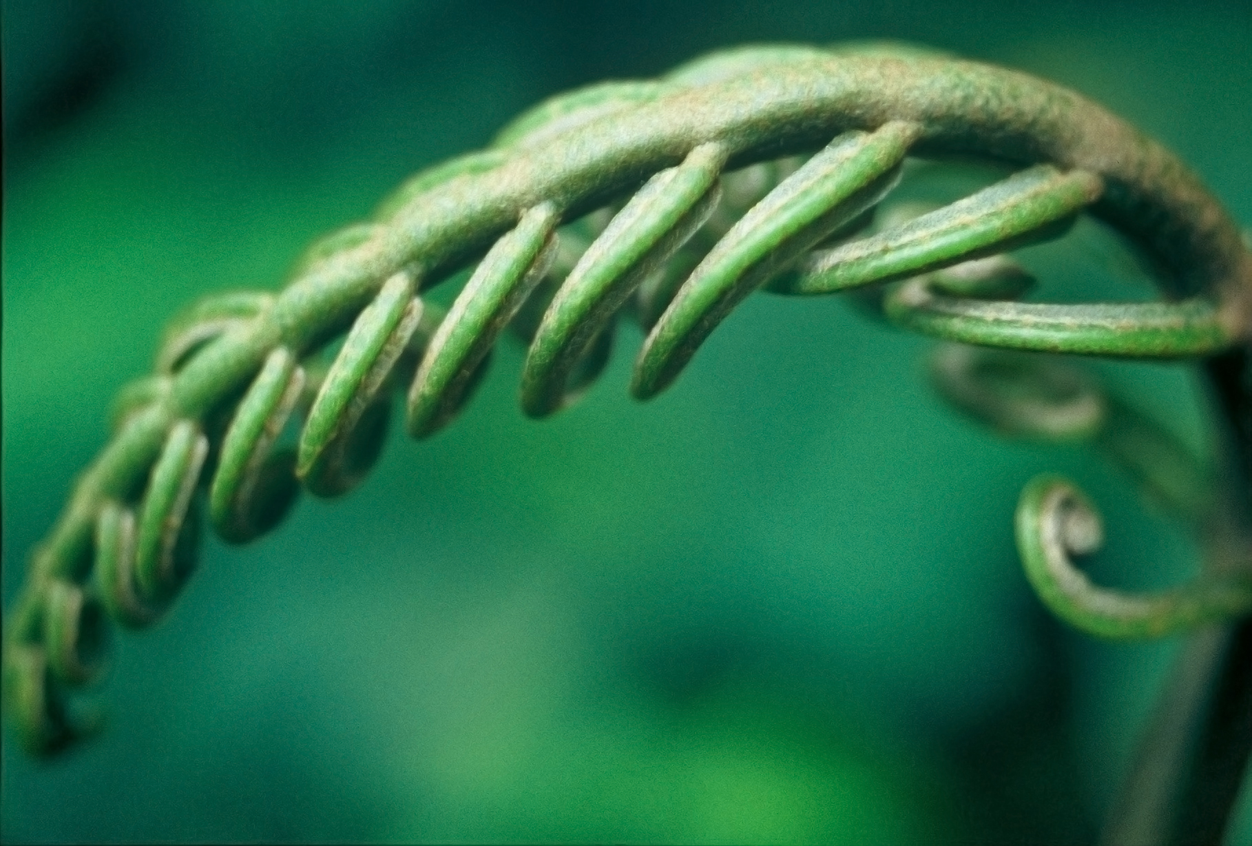 FERN SPROUT