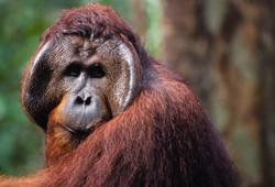 DISTURBED (Pongo pygmaeus)