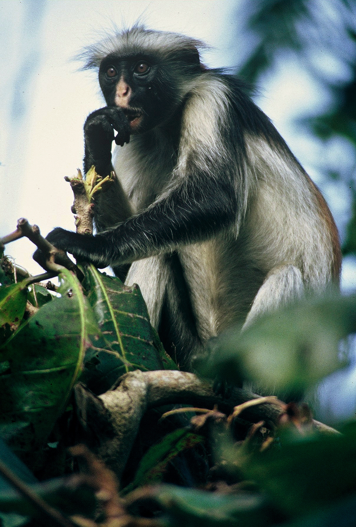 ASTONISHED RED COLOBUS (Procolobus kirkii)