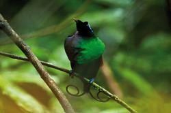 COURTSHIP_OF_WILSON´S_PARADISE_BIRD_(Cicinnurus_respublica)