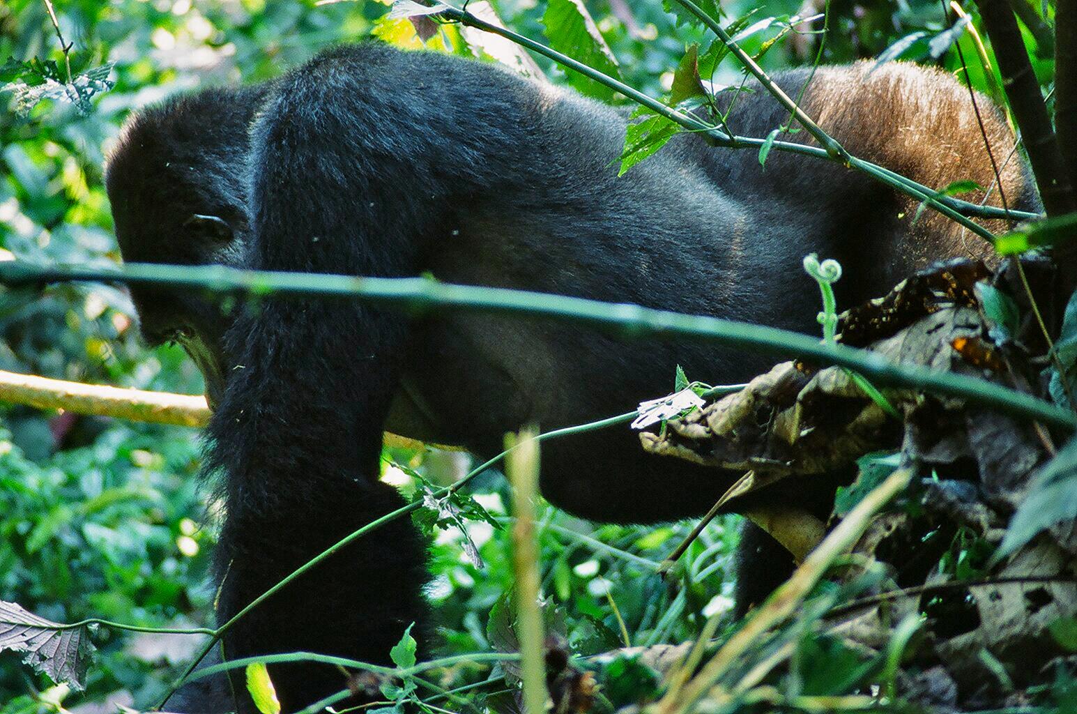 SILVERBACK (Gorilla beringei beringei)