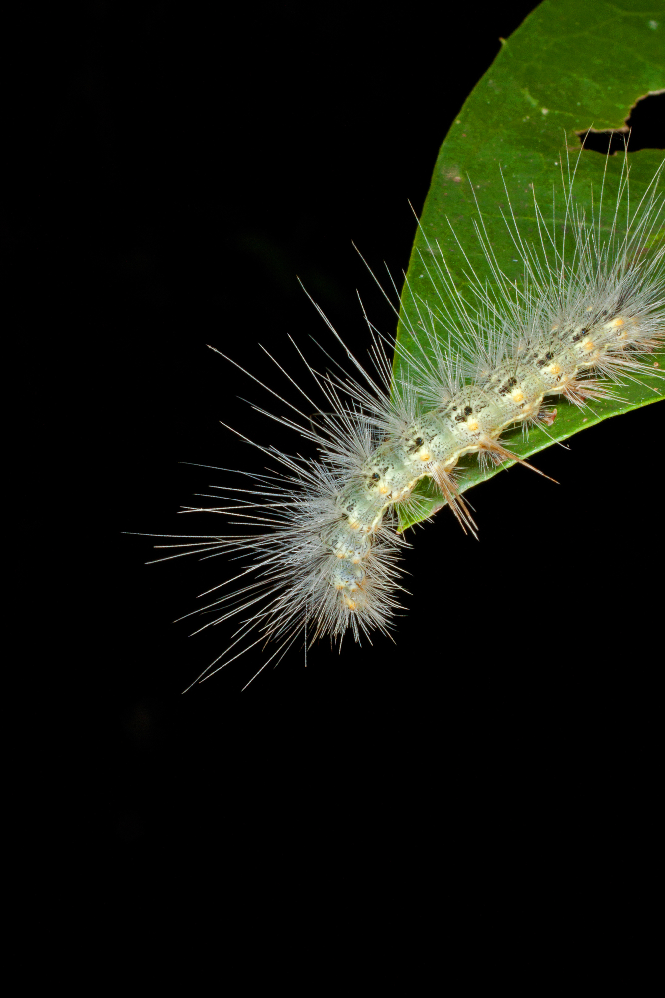 CATERPILLAR_OF_EDWARD´S_WASP_MOTH_(Lymire_edwardsii)
