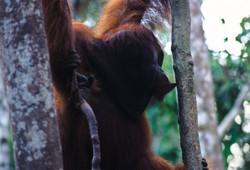 SIDE FACE (Pongo pygmaeus)