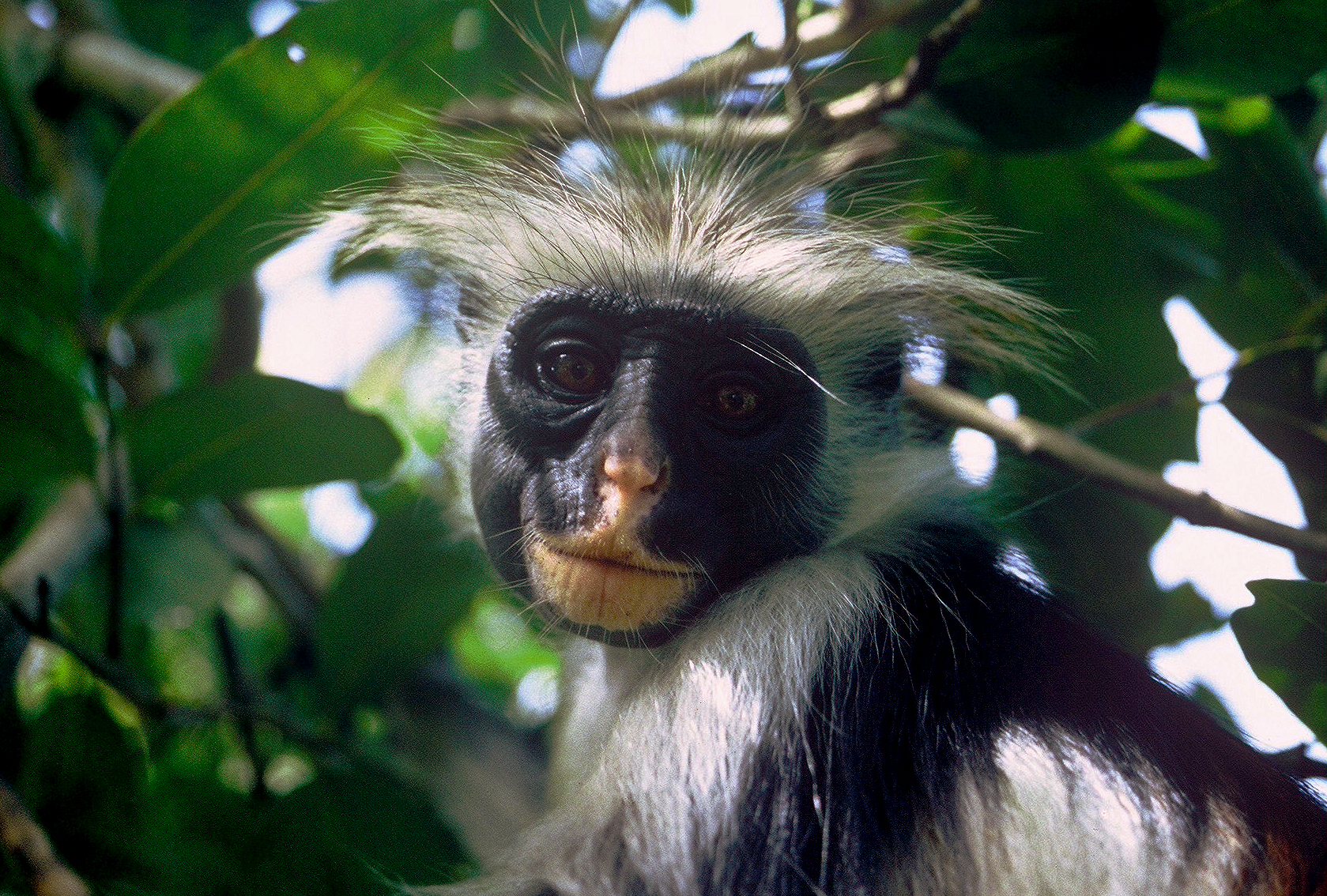 PORTRAIT OF A RED COLOBUS MONKEY (Procolobus kirkii)