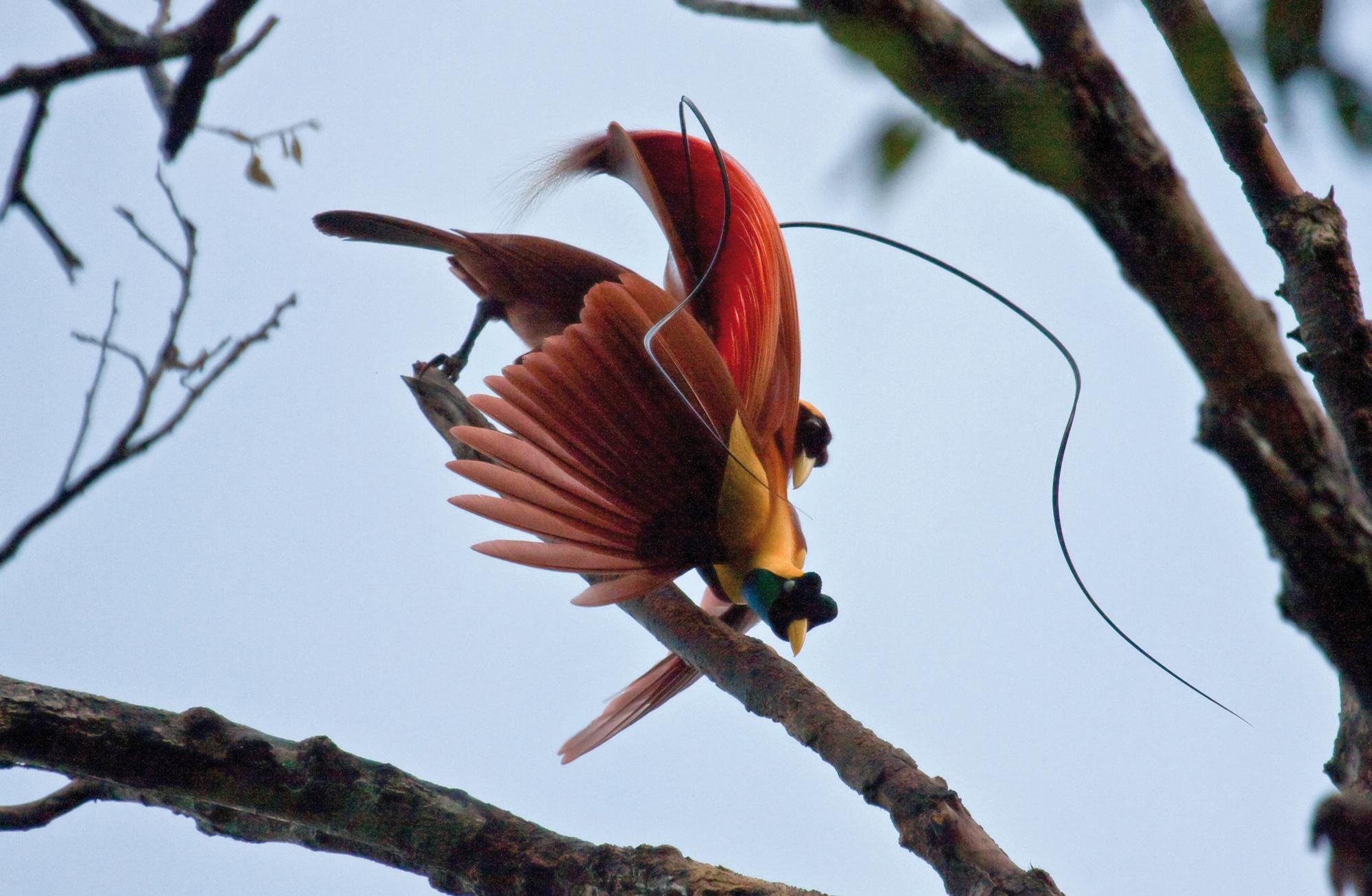 CENDERAWASIH BIRD (Paradisea rubra)