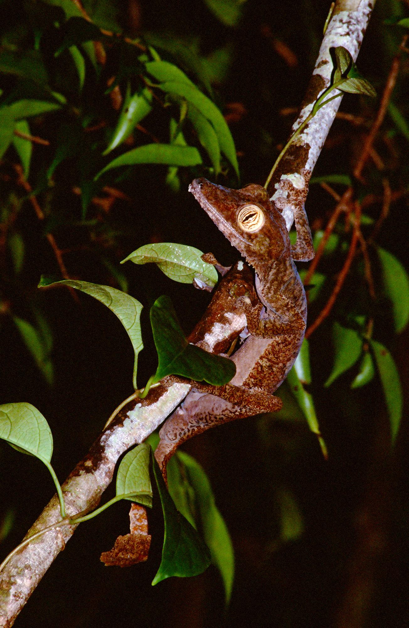 LEAF TAILED GECKO (Uroplatus fimbriatus)