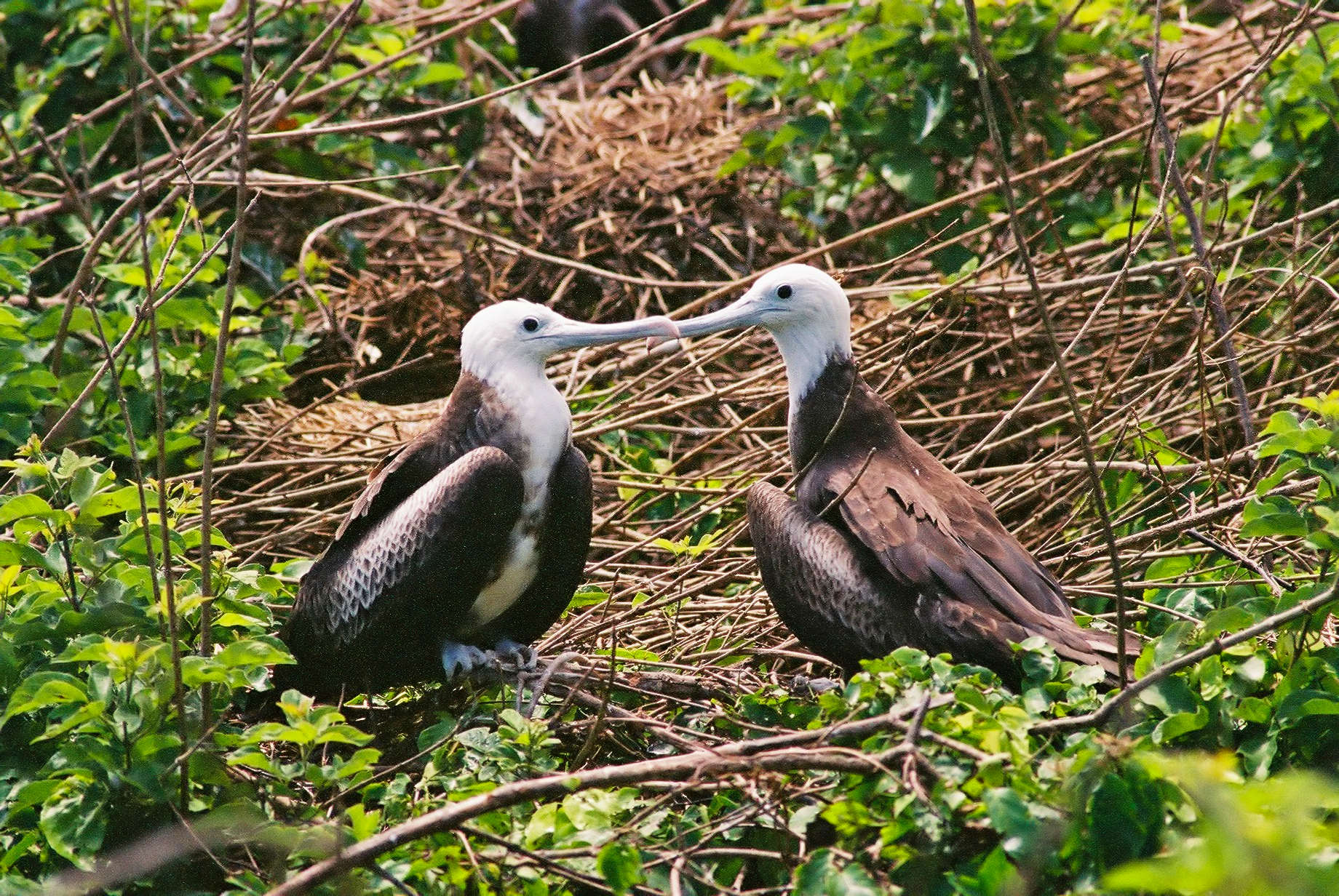 JUVENILE FRIGATEBIRDS (Frigata minor)