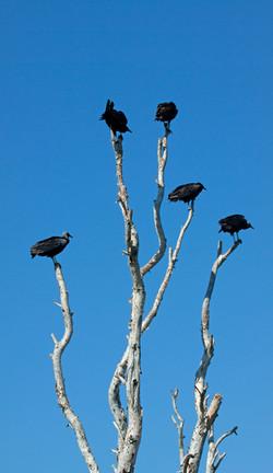 BLACK VULTURES (Coragyps_atratus)
