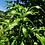 Thumbnail: Mango Leaves