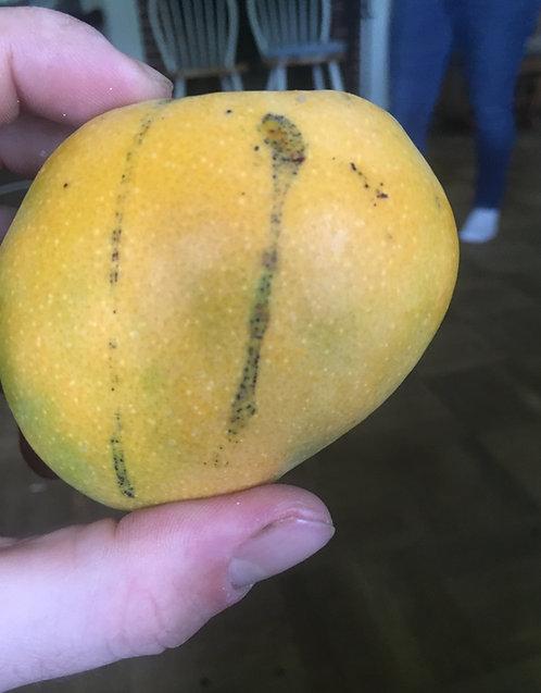 Palm Springs Mango