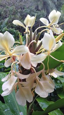 White Ginger, Lyon Arboretum, Oahu, HI.J