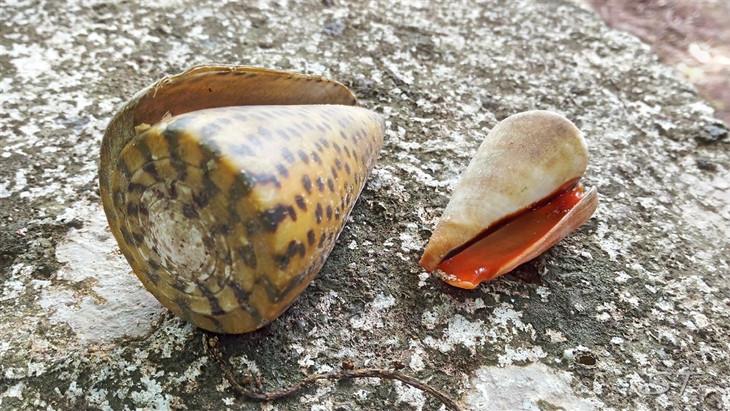 Nautilus, Palau
