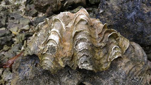 Stone Clam, Palau