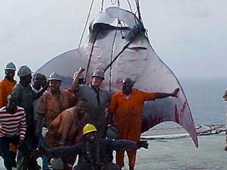 Une raie géante découverte au large du Nigéria