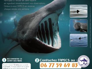 Si vous tombez sur un requin pèlerin au large des côtes françaises...