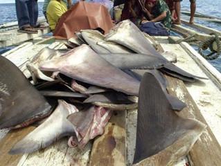 L'Asie n'a pas le monopole de l'aileron de requin...