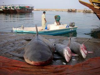 Requins : la « tête » des bouledogues mise à prix