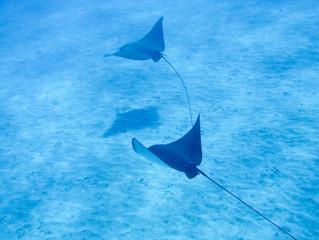 79 espèces de requins et raies viennent d'être découvertes... Malheureusement
