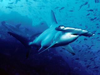 De nouvelles espèces de requins, de nouveaux soucis ...