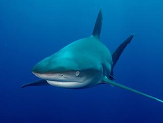 """Requins : le préfet prévoit un """"prélèvement ciblé"""" à la réunion"""