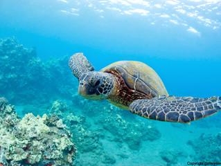 La tortue marine en méditerranée