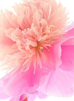 Coral and Pink Abstract Painting of Flowing Flower Pedals