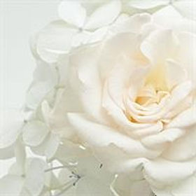 Exquisite White Rose Spreading its Pedals