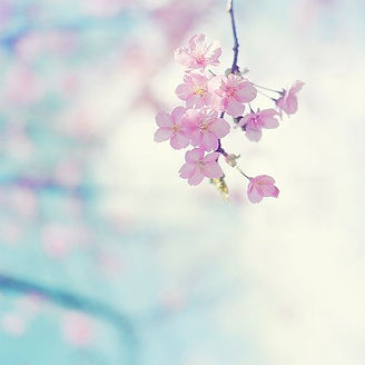 Pink Cherry Blossoms in the Spring Time