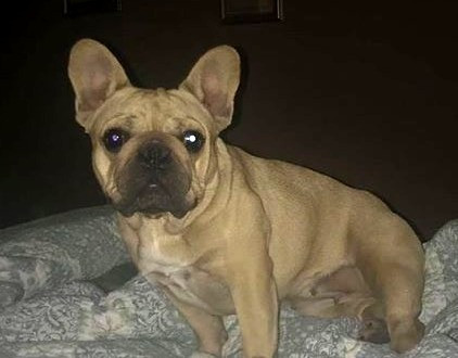 Genesis the Frenchie