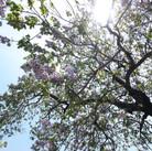 крона дерево павловния