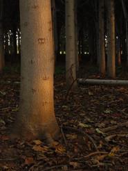 Paulownia Forest.jpg