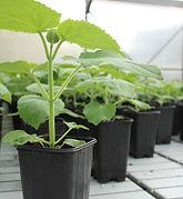 paulownia-seedlings-russia.jpg