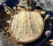 paulownia-regeneraton
