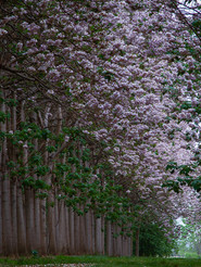paulownia-forest