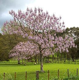 paulownia-moscow-blossom.jpg