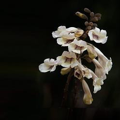 paulownia-blossom