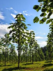 paulownia-plantation