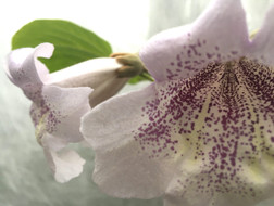 paulownia-cvetok-russia-pitomnik-1