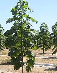 paulowni-fito-eco-tree