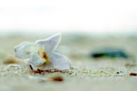 paulownia-flower